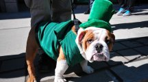 12 dogs who look completely miserable in their St Patrick's Day costumes