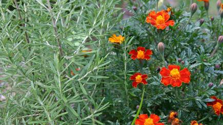 Marigolds and rosemary