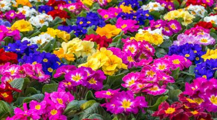 5 facts about primulas to help you make the most of them this spring