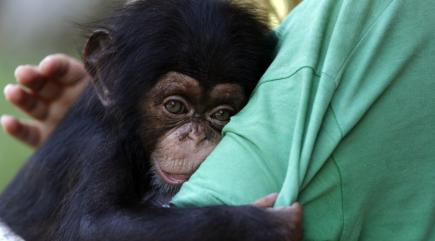 5 pictures of a baby chimpanzee called Jason to make your ...