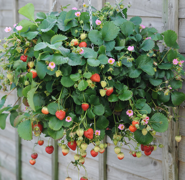 11 of the best new plants that will be shown at rhs chelsea flower ideal for popping in a hanging basket this strawberry plant produces bright pink flowers and the fruits taste like sweeter wild varieties mightylinksfo