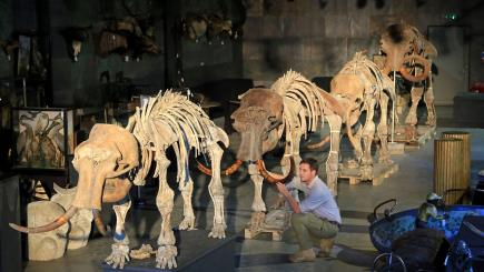 A family of four mammoth skeletons are going under the hammer