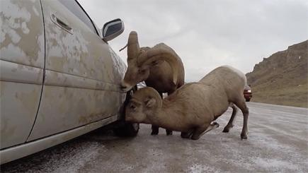 A pair of mountain sheep are providing a useful and innovative car-cleaning service to drivers in America.