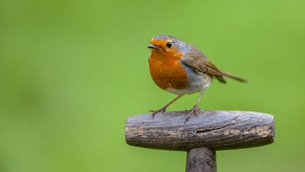 A robin on a garden spade in autumn