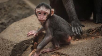 Adorable rare monkey born at Chester Zoo