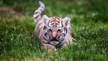One of three rare eight-week-old Amur tiger cubs takes one of their first steps in daylight at Yorkshire Wildlife Park in Doncaster. (PA)