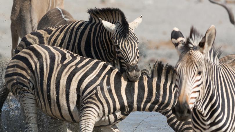 animal fight club zebras fighting