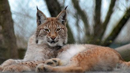 Animal park 'outraged' after escaped lynx shot dead on council orders
