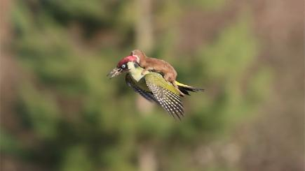 The baby weasel and woodpecker photographed by Martin Le-May
