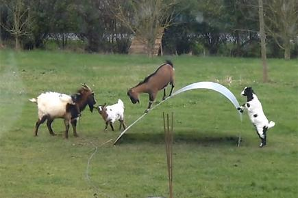 OH, ALL RIGHT: Here. Goats.