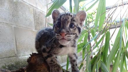 Nimbus the clouded leopard was abandoned by her mother shortly after birth at Cotswold Wildlife Park in Oxfordshire