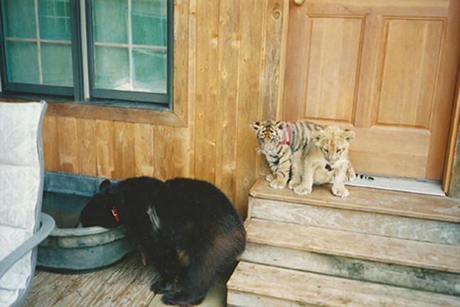 Bear Lion And Tiger Are Best Friends BT - Lion tiger bear best friends