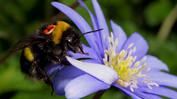 Insect 'licence plates' to help scientists track flights of the bumble bee