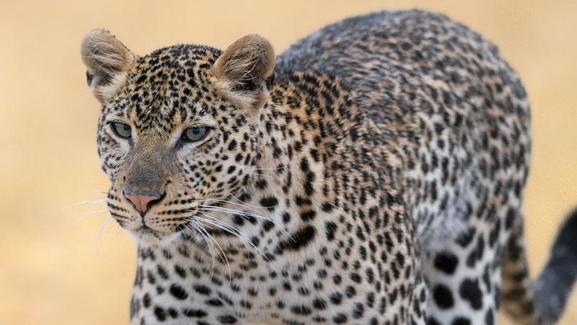 Big Cat Week - Nat Geo Wild