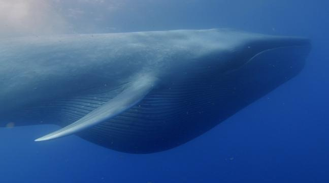 Blue whales huge size due to binge-eating through climate change