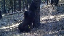Boogieing black bear shows how to scratch an itch