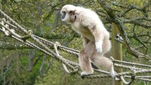Brian the Gibbon