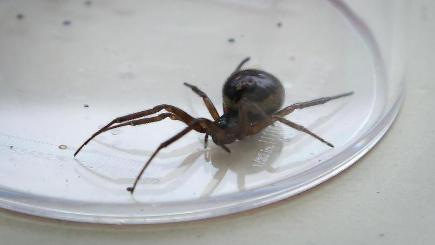 The false widow spider can be found on the southern and eastern coast of the UK and in Surrey