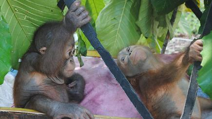 Who's the daddy? Surprise in Swiss orangutan paternity ...