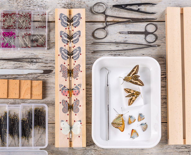 Dead butterflies can make pretty interesting displays