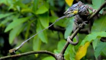 A panther chameleon taken by Simone Sbaraglia which has won the ZSL Animal Photography Prize (Simone Sbaraglia/PA)