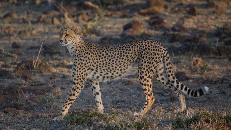man among cheetahs