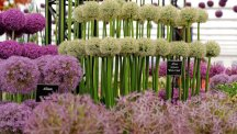 Alium's at the 2015 Chelsea Flower Show