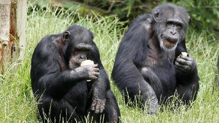 Chimps and humans 'nat...
