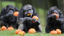 Chimps eating pumpkins