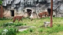 Crane stands to face two tigers