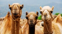 Could camel's milk have some surprising beauty benefits?