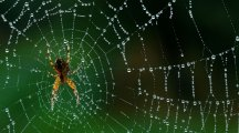 Could spider venom cure chronic pain?