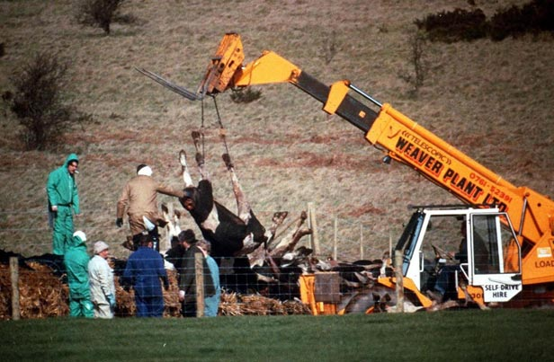 Cows being destroyed at a Somerset farm.
