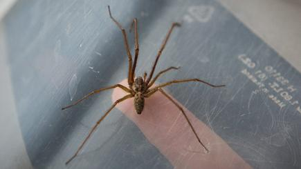 Dad bitten after 'fearless' spiders invade home