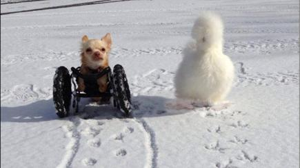 Disabled dog and fluffy chicken are best friends