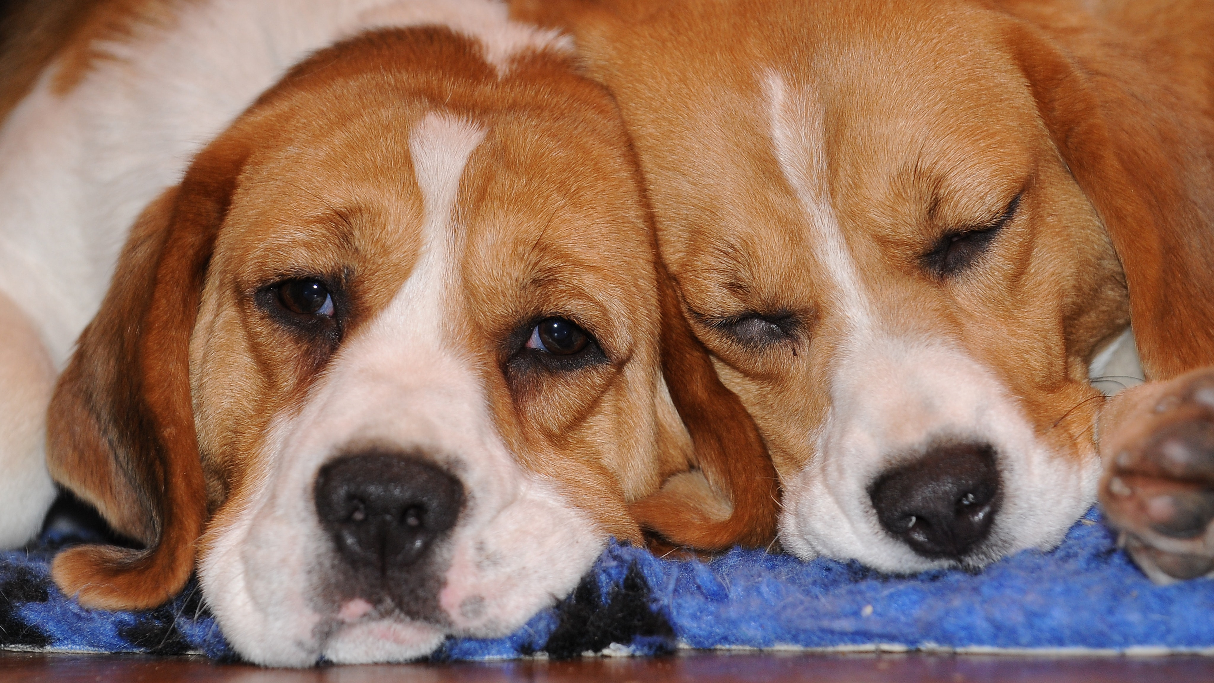 Good Wisconsin Beagle Adorable Dog - dog-helps-her-scared-sister-through-the-door-every-day-and-its-adorable-136426641623802601-180424143030  Image_911612  .jpg