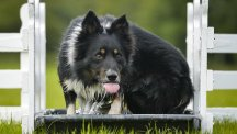 Scientists studied the intelligence of border collies