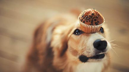Dog with muffin on nose