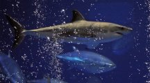 Drones to patrol beaches in Australia looking for sharks