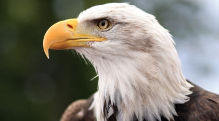 Eagles are being trained to attack rogue drones