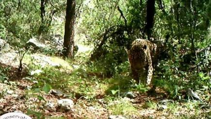 USA's only known wild jaguar caught on camera