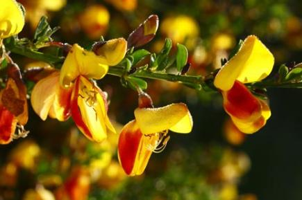 The worlds most deadly flowers bt english broom mightylinksfo