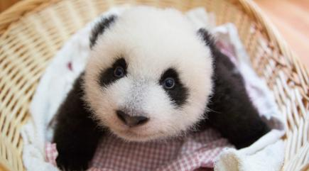 Everyone Wants To Look After Panda Babies Now Since