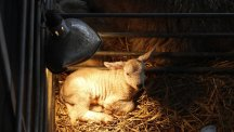 Lambs under heating lights at Cannon Hall Farm