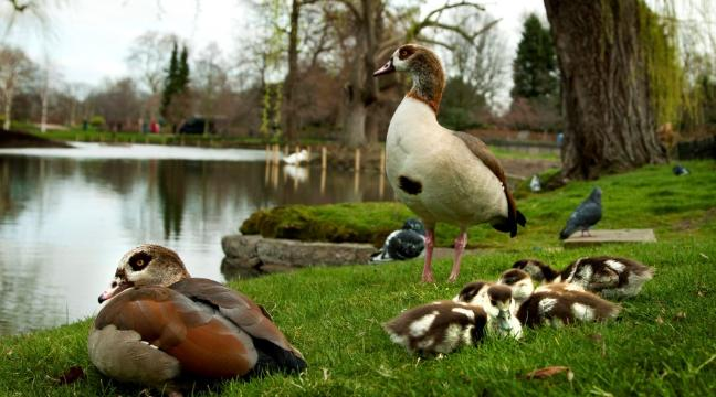Feeding Ducks Bread May Soon Be A Thing Of The Past Bt