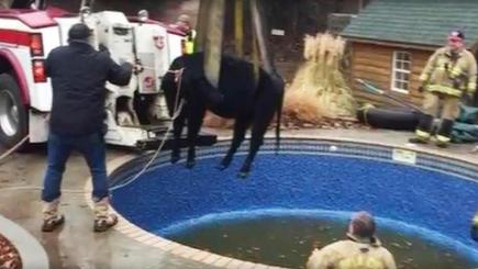 Firefighters Re-Moove Cow Stuck in Swimming Pool