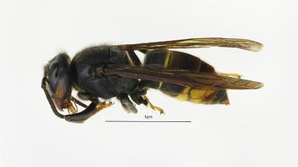 Search on for the Asian hornet queen