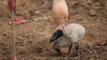 One of 14 new Chilean flamingo chicks born at Chester Zoo