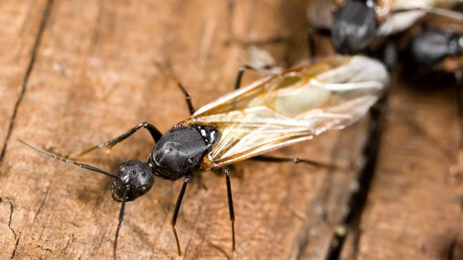 Flying ants. When is flying ant day 2017 and how to get rid of them   BT