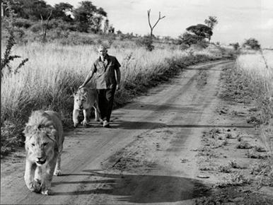 George Adamson with lions 'boy' and 'girl' in Kenya in the 1960s